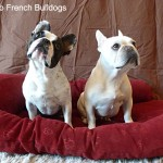 December - Benny and Lily - Two French Bulldogs