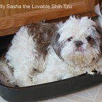 Sasha - Silly Sasha the Lovable Shih Tzu