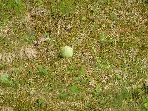 A lonely tennis ball waiting for someone to play with.