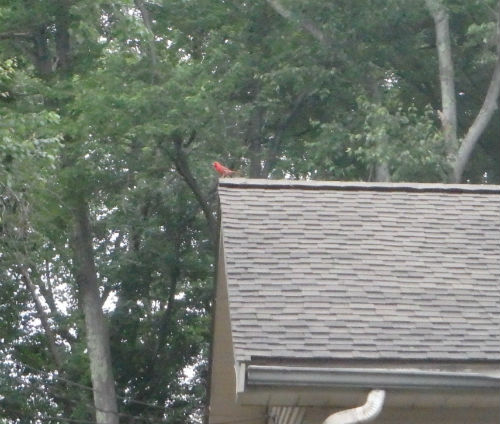 A cardinal that flies across our path and lights on the roof of a house.