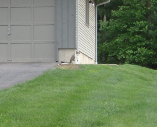 And one more cat who watched quietly from the safety of the yard.