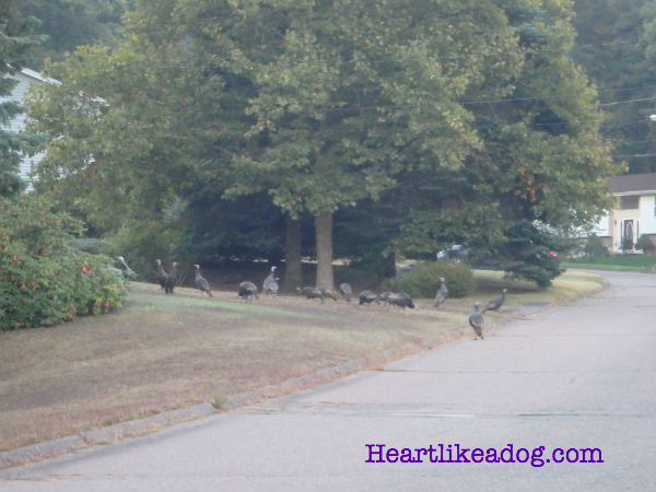 This was a huge flock of turkeys, I'd say there had to be close to 20 of them.