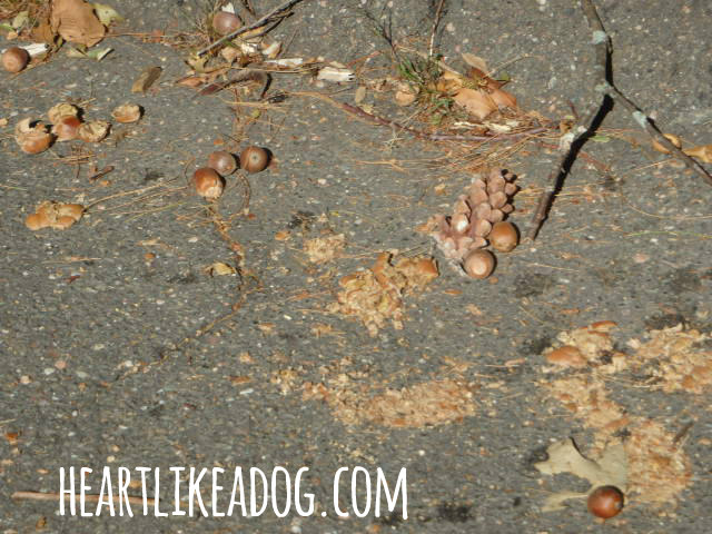 Smashed, cracked or whole, we have acorns.
