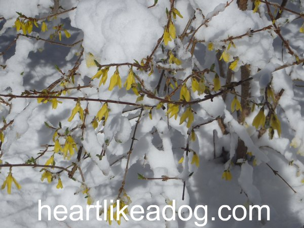 The forsythia are pissed off.